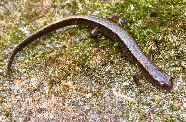 Two-lined Salamander
